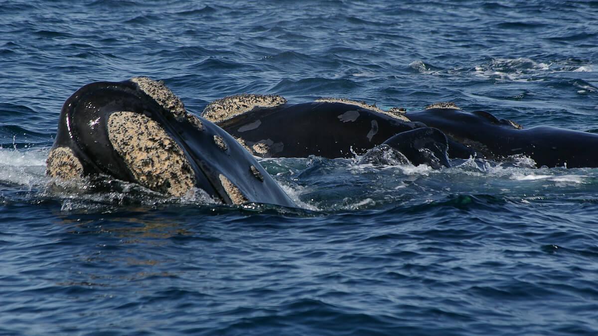 Argentine - Péninsule de Valdes - Baleine