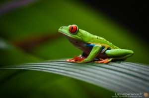 Costa Rica  - Red-eyed tree frog